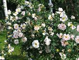Rosa 'Juhannusmorsian' - morsionruusu