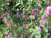 Rosa 'Malvankukka' - malvaruusu