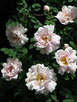 Rosa 'Papula' - papulanruusu