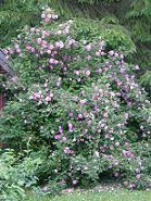Rosa 'Poppius' - suviruusu