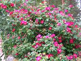 Rosa 'Splendens' - valamonruusu