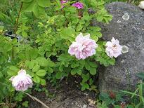 Rosa alba 'Minette' - mustialanruusu