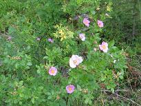Rosa carolina - karoliinanruusu