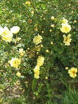 Rosa foetida 'Persiana' - persiankeltaruusu