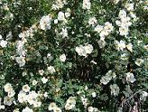 Rosa 'Plena' - juhannusruusu