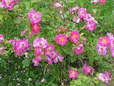 Rosa rubiginosa 'Magnifica' - omenaruusu