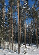 Vuonna 2008 lannoitettu metsämännikkö Hörhän palstalta 2010