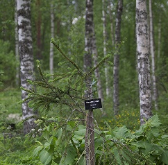Käärmekuusi (Picea abies f. virgata)