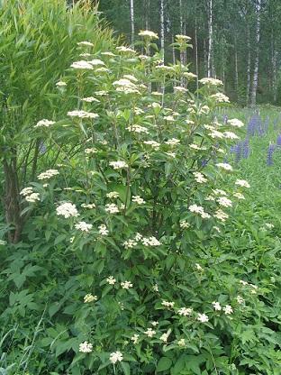 Viburnum lentago (Kiiltoheisi)