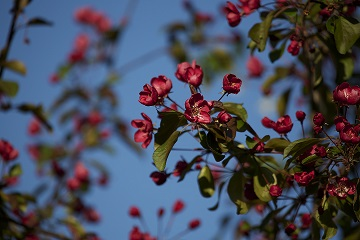 Malus ssp. (punakukkainen koristeomena)