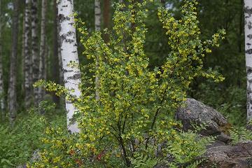 Ribes aureum (Kultaherukka)