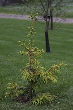 Picea abies f. aurea (kultakuusi)