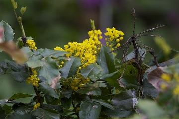 Mahonia aquifolium (Mahonia)