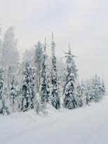 Picea abies f. pendula - surukuusi