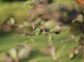 Alnus incana f. rubra (Punalehtileppä)