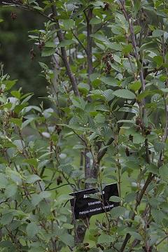 Alnus crispa (Sitkanleppä)