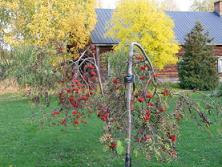 riippapihlaja syksyllä