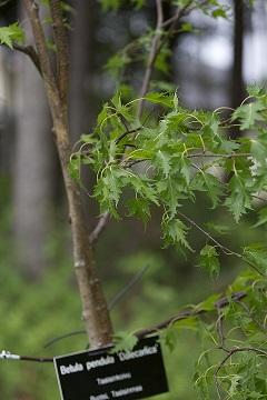 Betula pendula 'Dalecarlica' (Taalainkoivu)