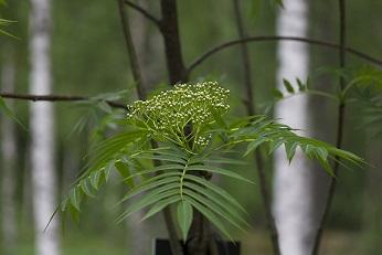 Sorbus 'Dodong' (Tuurenpihlaja